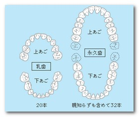 乳歯と永久歯